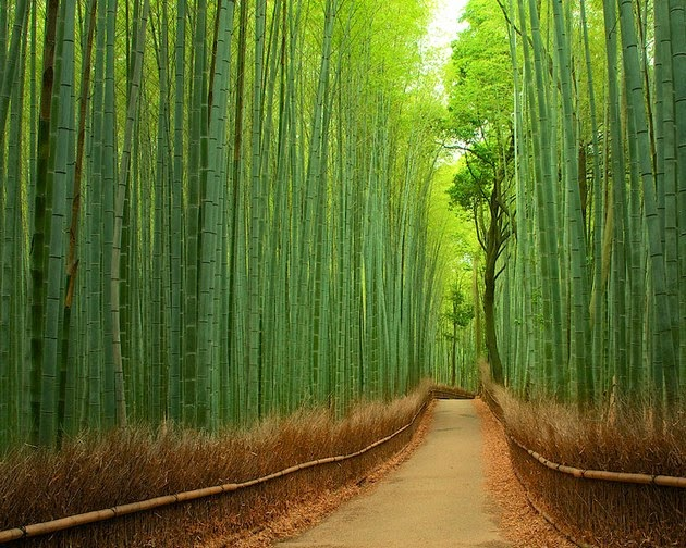 tree tunnels Bamboo Path in Kyoto, Japan