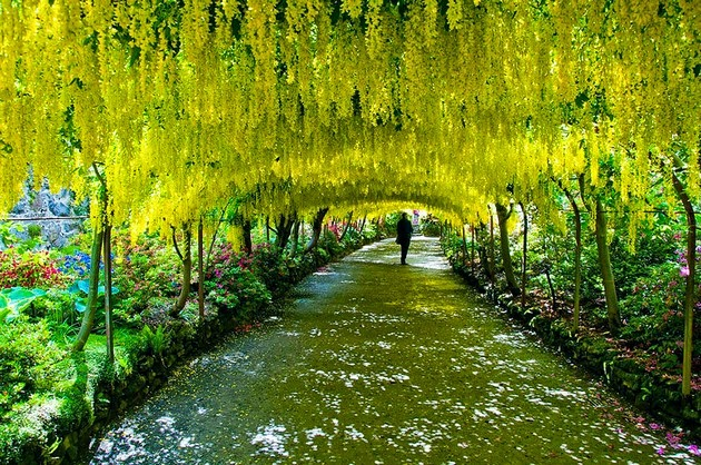Tree tunnels Laburnum Tunnel in Bodnant Gardens, UK