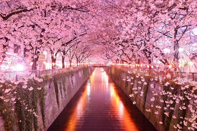 tree tunnels Sakura Tunnel, Japan