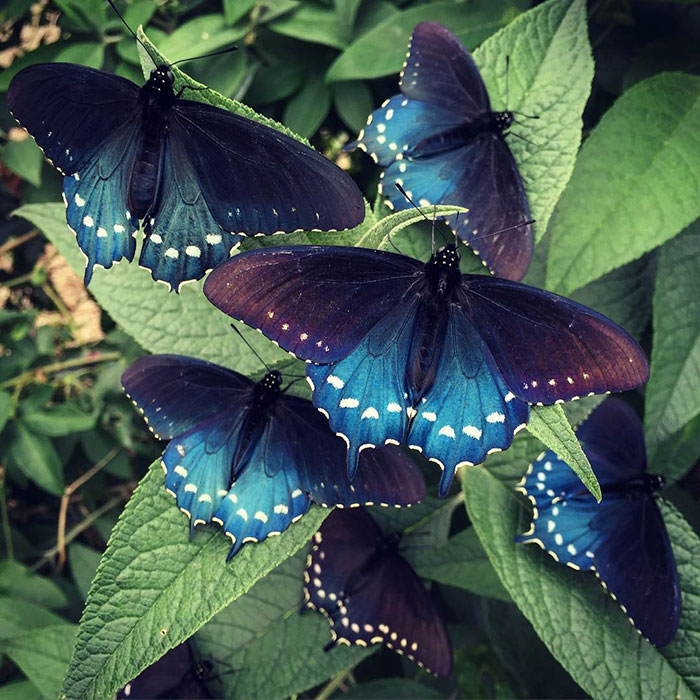 rare-blue-swallowtail-pipevine-butterfly-repopulation-tim-wong-9