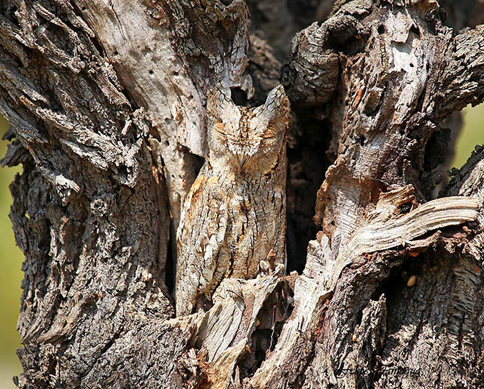 Camouflagedieren 4 - Great Horned Owl